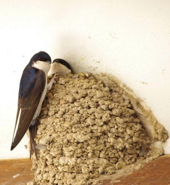 Hirondelle de fenêtre posée sur le nid avec un jeune qui passe la tête
