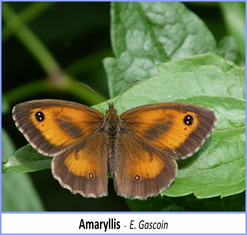 papillon amaryllis posé sur une feuille ailes grandes ouvertes