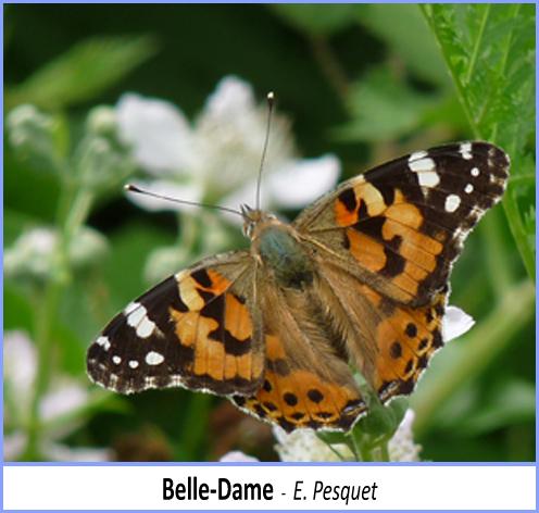 papillon belle-dame posé sur une fleur