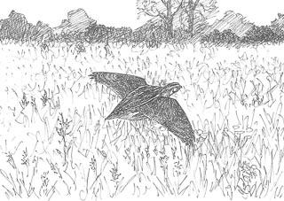 dessin de caille des blés en vol