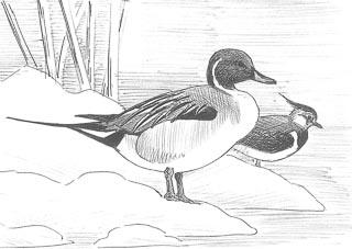 dessin de canard pilet au bord de l'eau