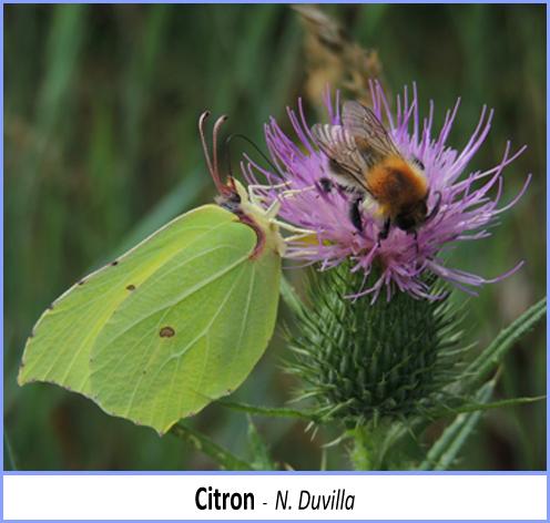 papillon citron posé sur une fleur de chardon