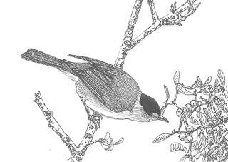 dessin de fauvette à tête noire sur une branche de gui