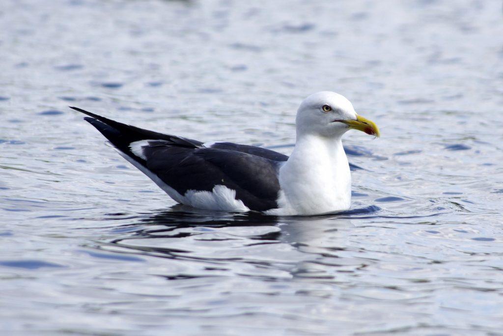 goéland marin posé sur l'eau