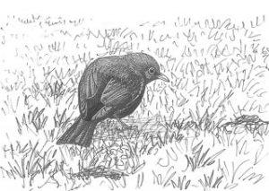 dessin de merle noir dans l'herbe
