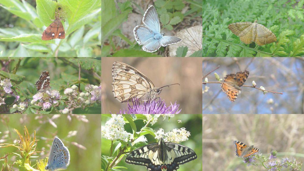 combinaison de 9 espèces de papillons