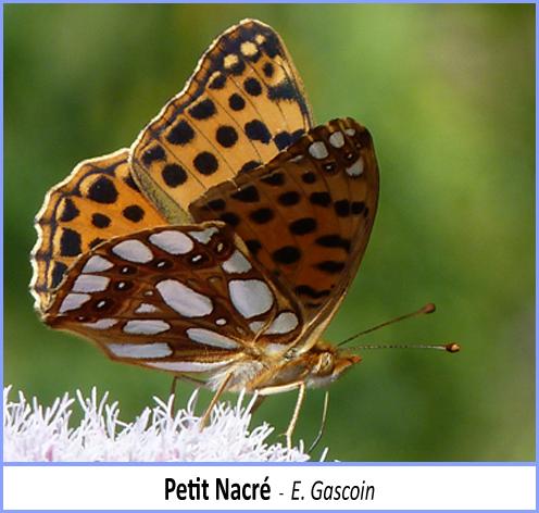 papillon petit nacré posé sur une fleur