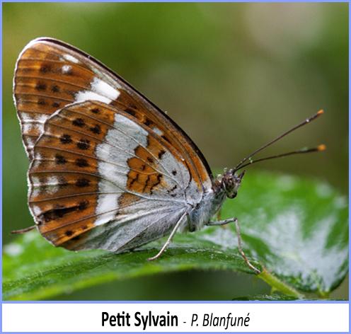 papillon petit sylvain vu de profil
