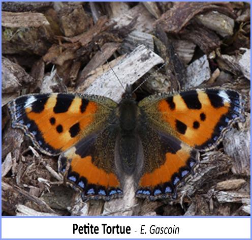 papillon petite tortue vue de dessus