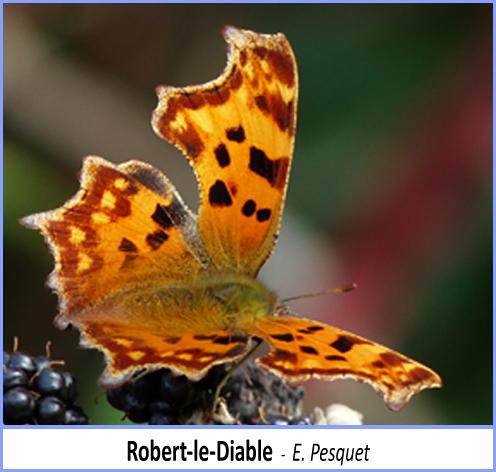 papillon robert le diable posé sur les fruits du lierre