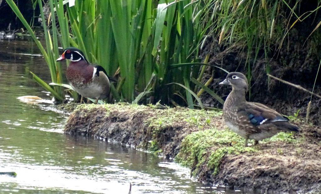couple de canards carolin au bord de l'eau