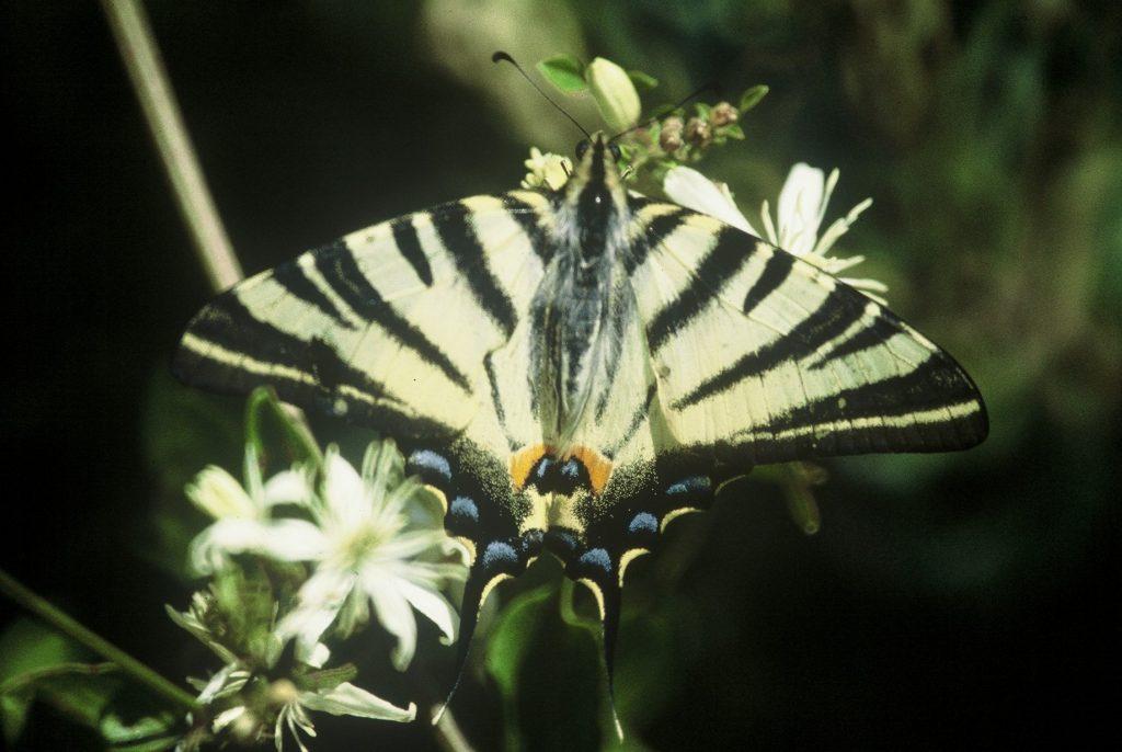 papillon flambé vu de dessus