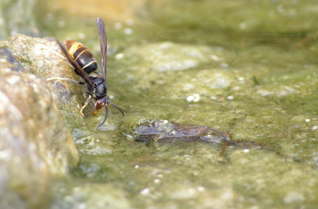 freulon asiatique qui boit sur le bord de l'eau
