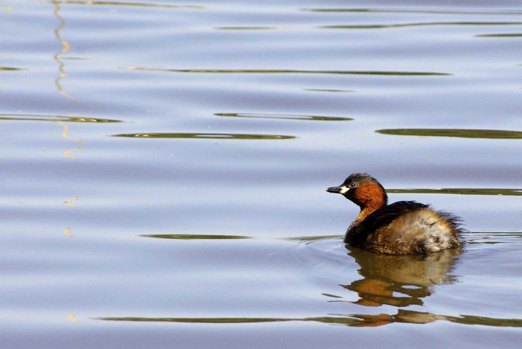 grèbe castagneux sur un étang