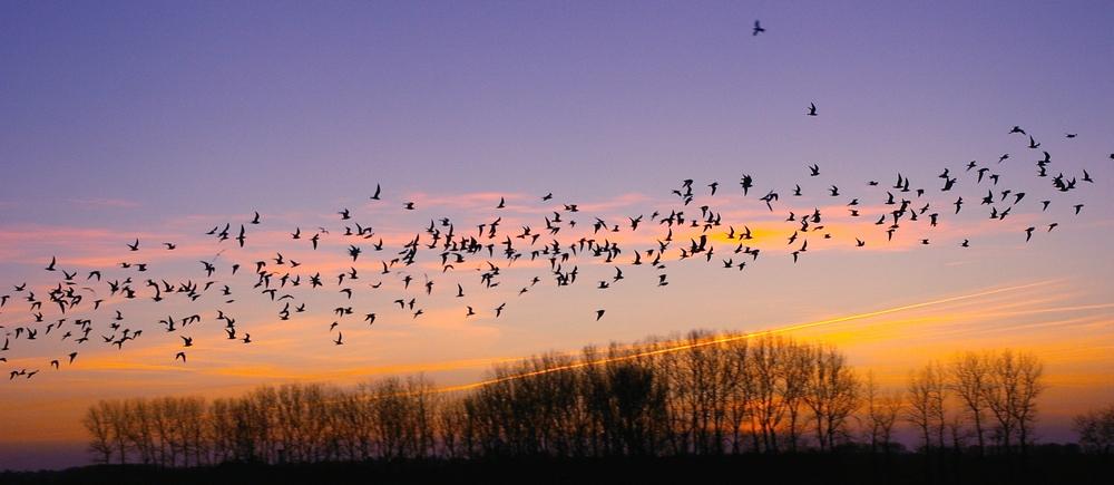 vol de laridés au soleil couchant