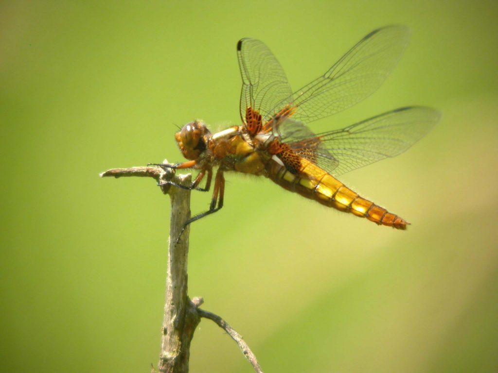 libellule déprimée femelle sur une brindille