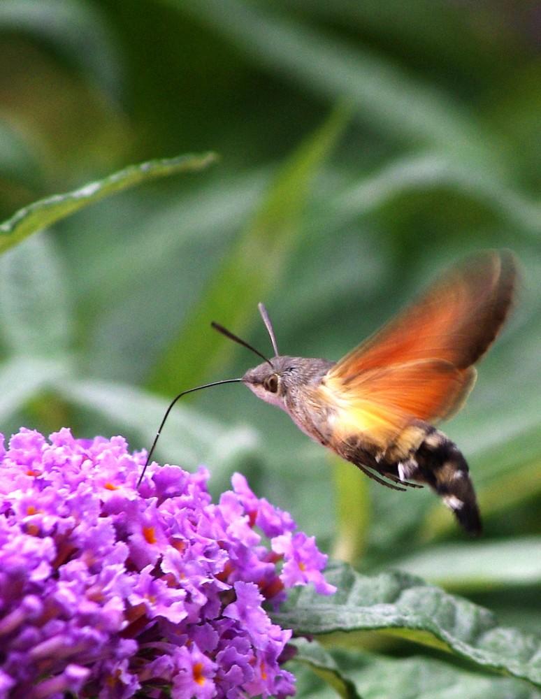 papillon moro-sphynx butinant un budléia
