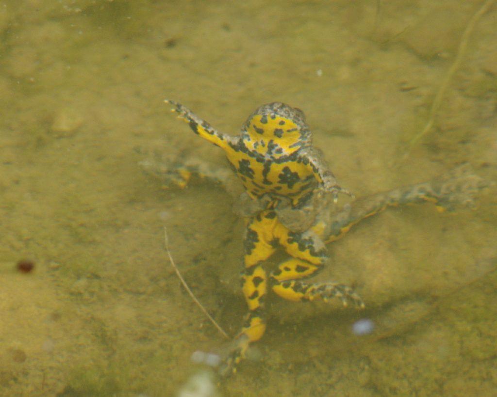 accouplement de sonneurs à ventre jaune dans une mare
